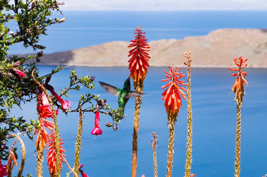 Vol de colibri sur l'isla del sol - Lac Titicaca - Bolivie