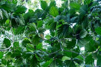 Feuilles Amazonia Peru Parque de Manu