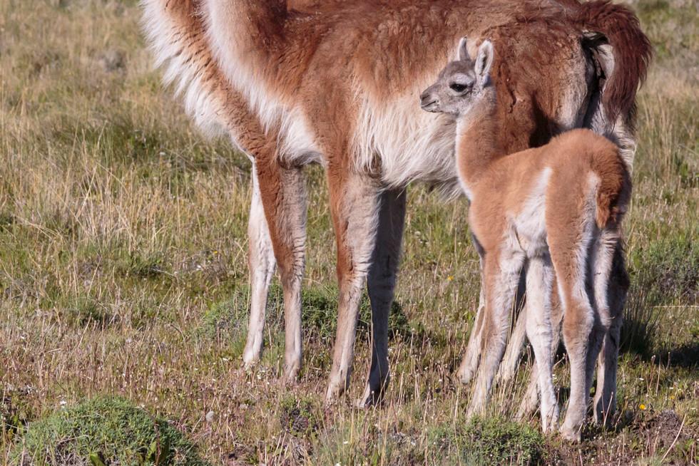 Parque Patagonia, sud Chili