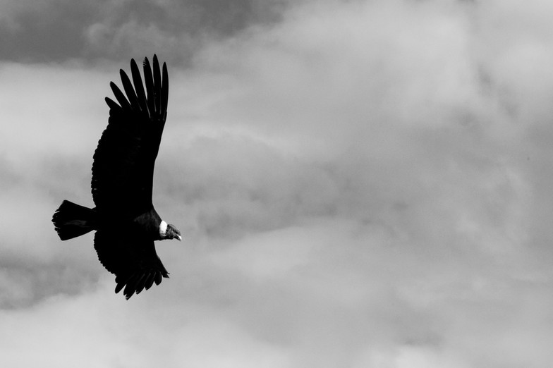 Flying and majestic Condor over the Colca Canyon
