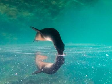 Les Galapagos - Nageons avec les otaries sur Isabela