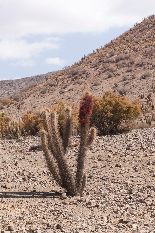 Cactus en fleurs rouges dans la vallée de l'Elqui au Chili