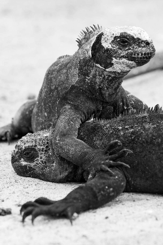 Iguane marin Galapagos