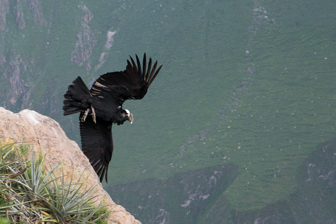 A taking off condor in the canyon of colca