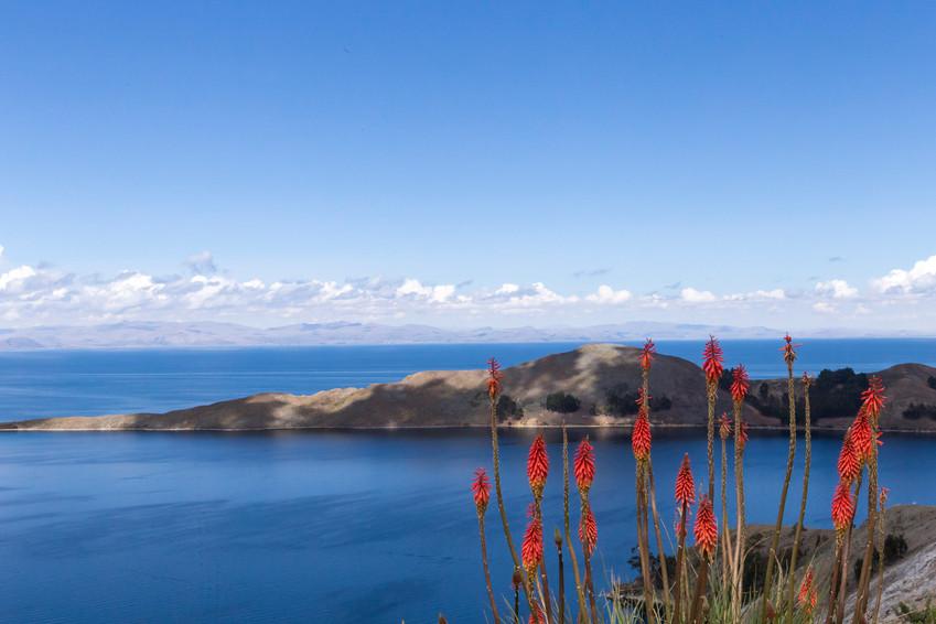 Jolies fleurs au dessus du lac Titicaca en Bolivie