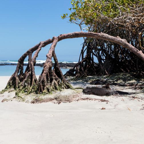 Plage Tortuga Bay sur l'île de Santa Cruz aux Galapagos. Lieu de ponte des tortues marines