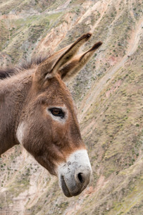 Donkey Portrait in the Colca Canyon