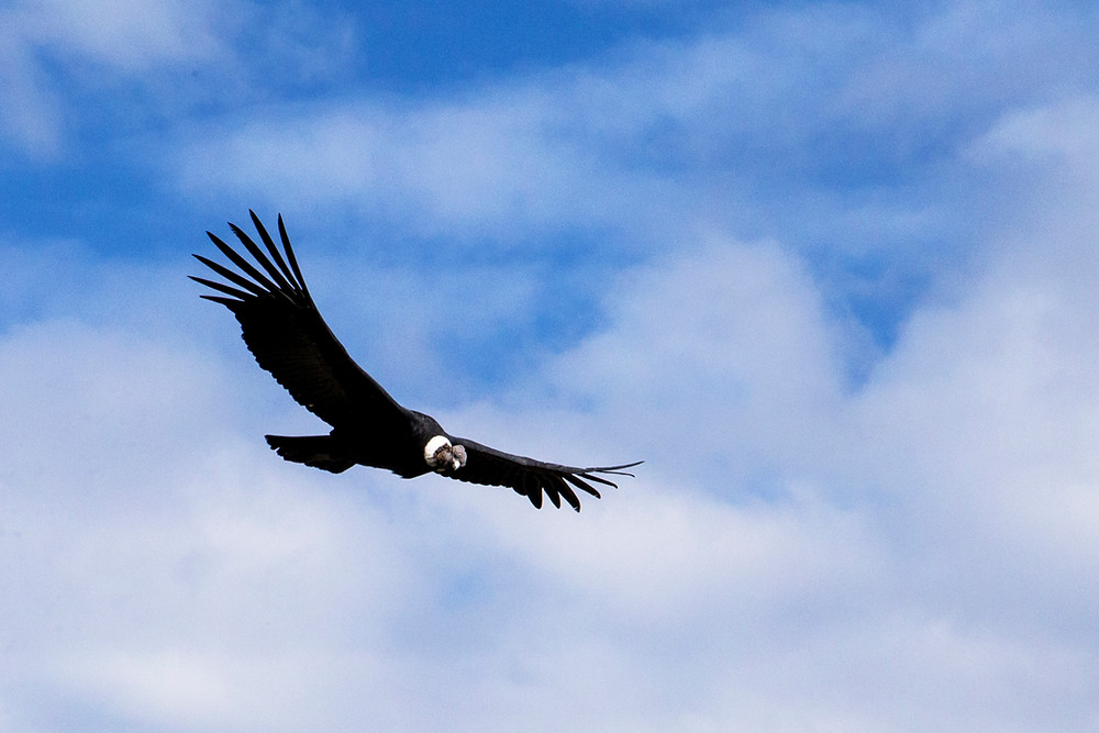 Majestic condor in the Peruvian Andes of the Canyon of Colca