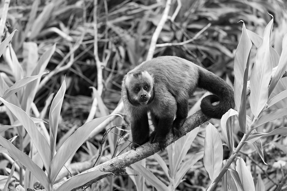 Capucin Monkey Peru Amazonia