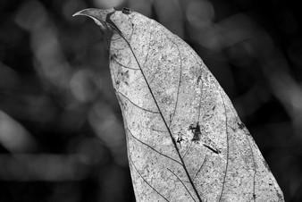 Leaf Amazonia Peru Parque de Manu