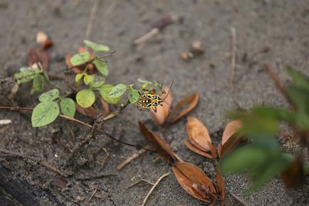 Insecte Amazonia Peru Parque de Manu