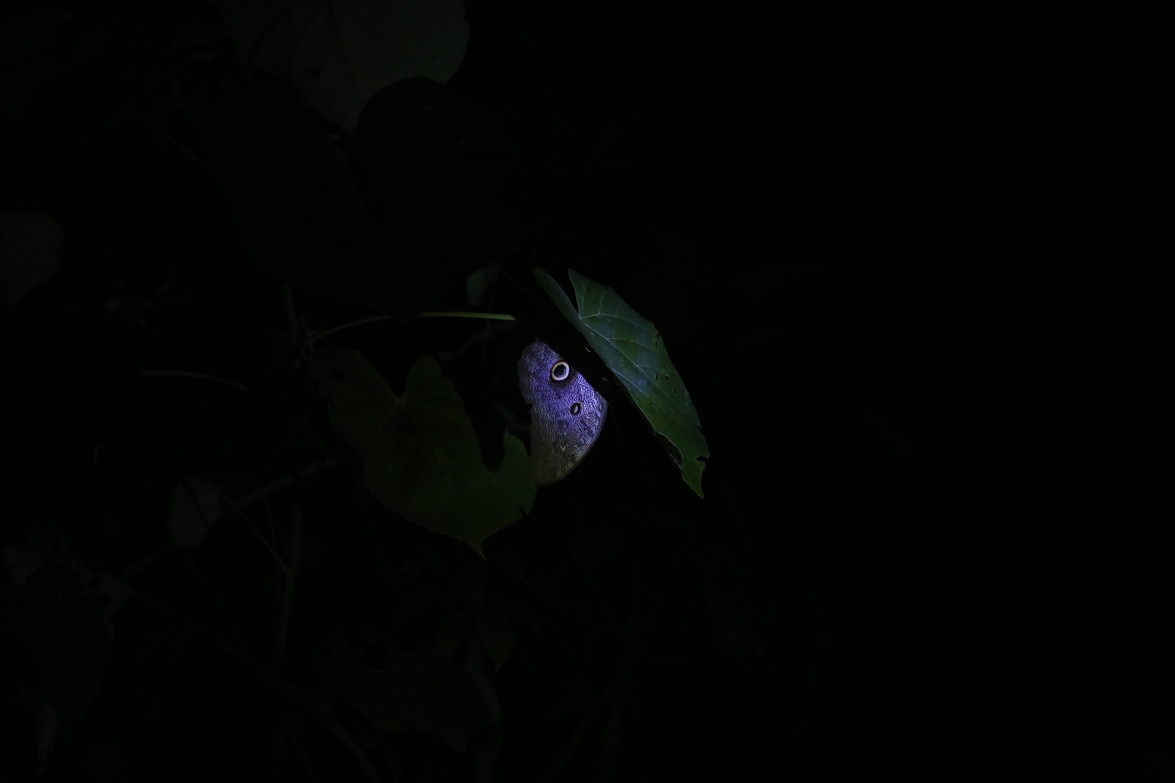 Night butterfly Amazonia Peru Parque de Manu