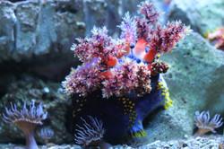 Sea creature (Pseudocolochirus)