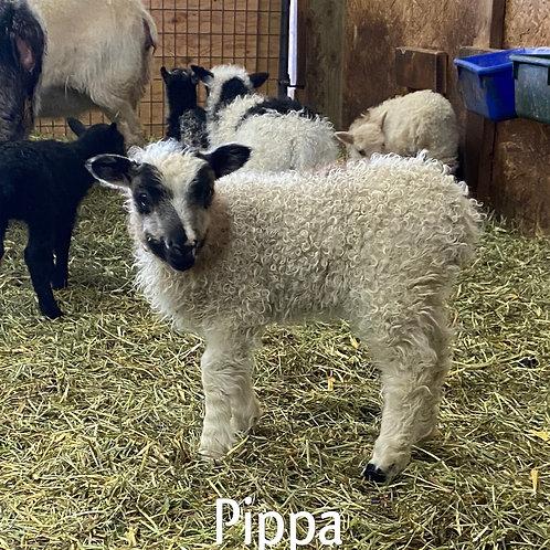 2021 Ewe Lamb Pippa