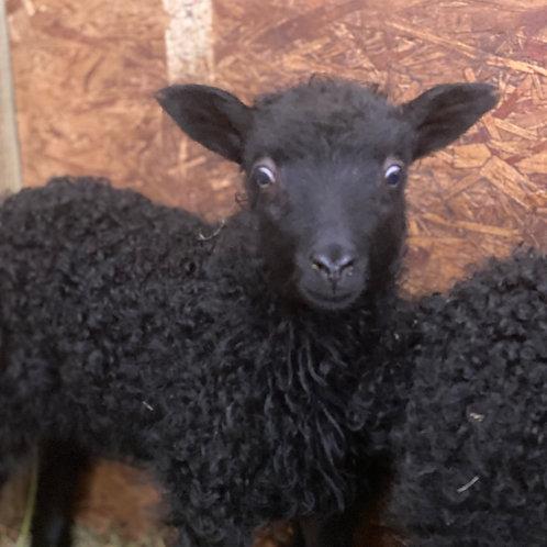 2021 Ewe Lamb Ava