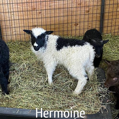 2021 Ewe Lamb Hermoine