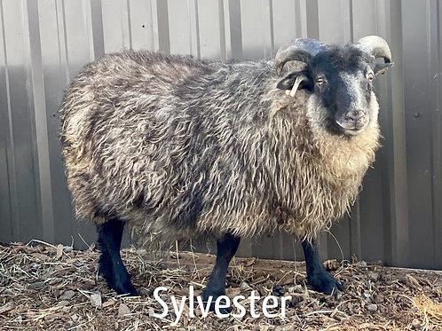 2021 Ram Lamb Sylvester