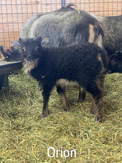2021 Ram Lamb Orion