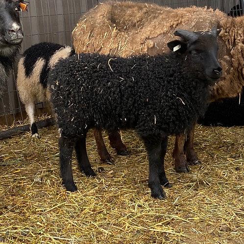 2021 Ram Lamb Noam