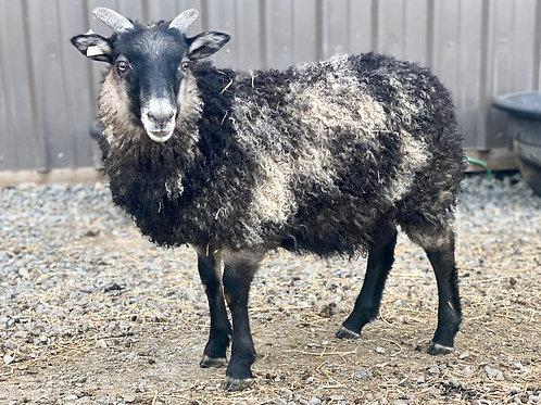 2021 Ewe Lamb Jade