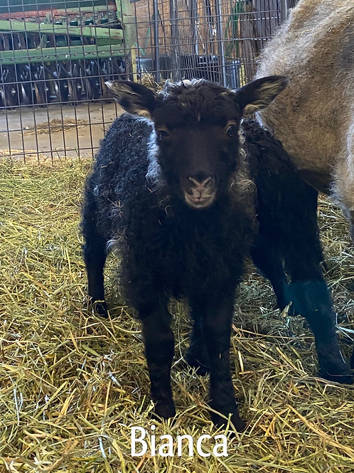 2021 Ewe Lamb Bianca