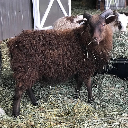 2020 Ram Lamb Nash