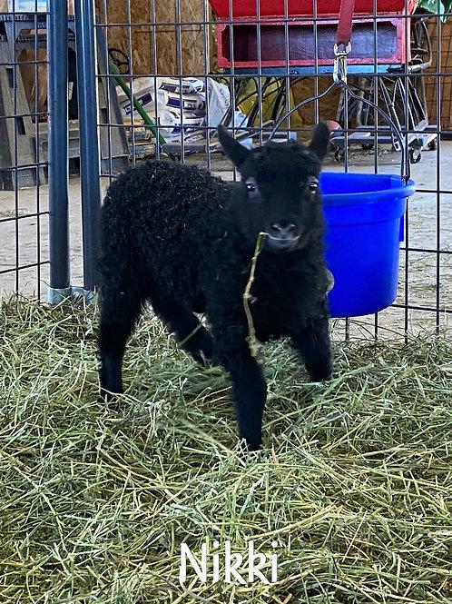 2021 Ewe Lamb Nikki