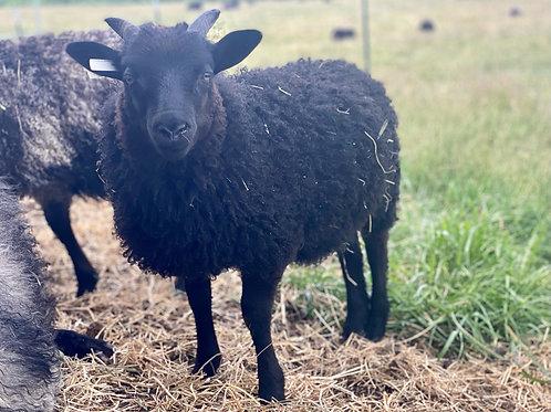 2021 Ewe Lamb Jasmine