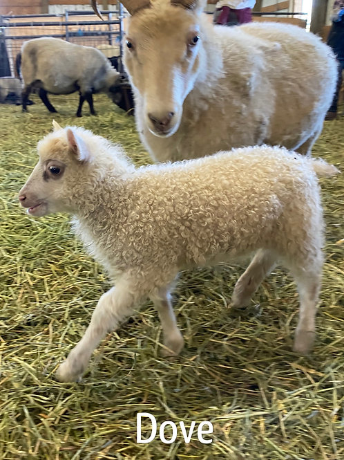 2021 Ewe Lamb Dove