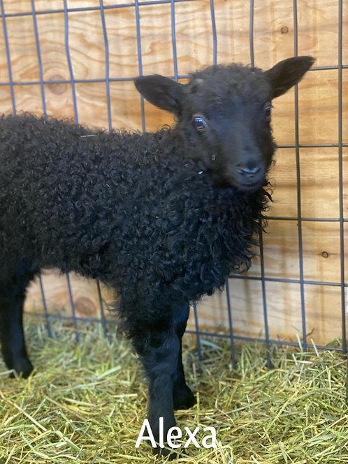 2021 Ewe Lamb Alexa