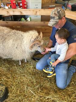 Feeding Grandpas sheep