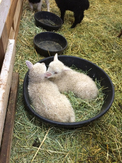 Baby sheep bowl