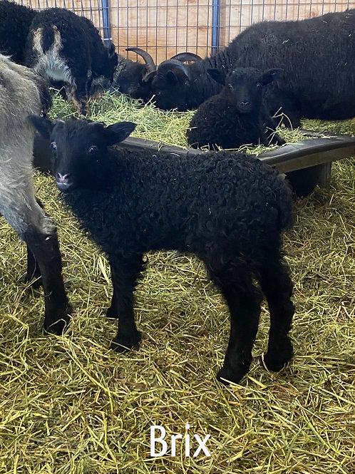 2021 Ram Lamb Brix
