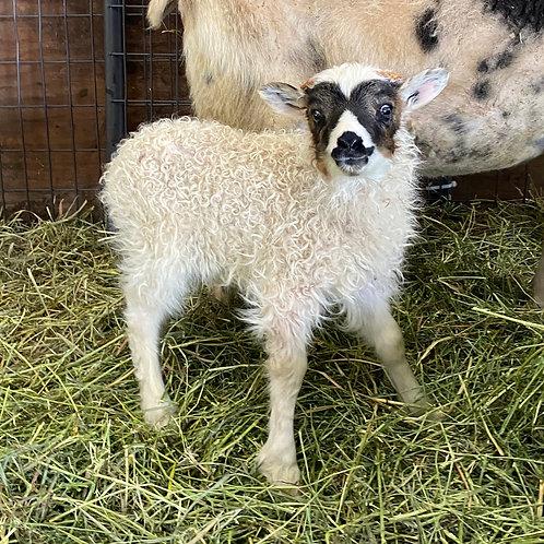 2021 Ram Lamb Freyr