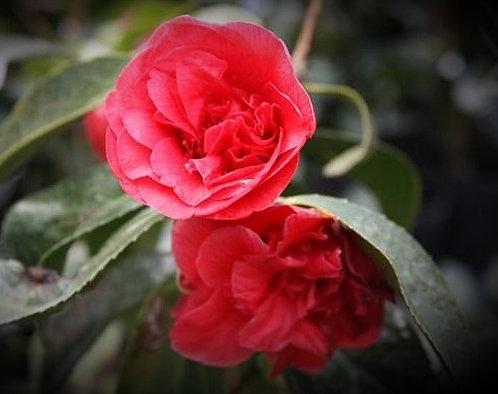 Camellia Jap. Lady Campbell