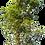 Thumbnail: Neem Tree