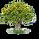 Thumbnail: Cassia glauca