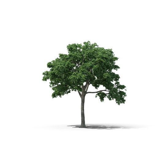 Elm Tree.I09.2k.png
