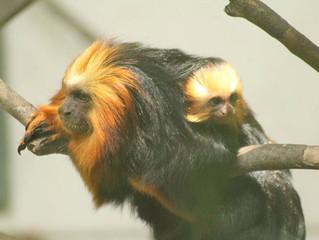 Nasce o primeiro mico-leão-de-cara-dourada no Zoo Pomerode