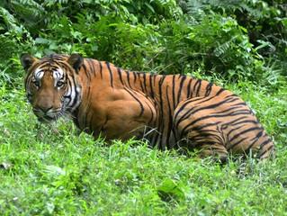 Número de tigres no mundo aumenta pela primeira vez em cem anos