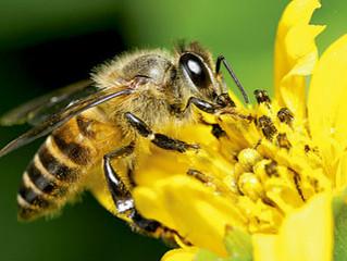 Flores com cafeína 'viciam' abelhas para polinização, diz pesquisa
