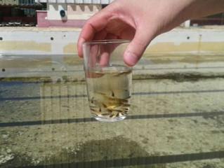 Rio usa peixe barrigudinho no combate ao Aedes aegypti