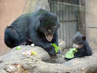 Filhote de urso-de-óculos pode ser visitado no zoológico de Sorocaba/SP