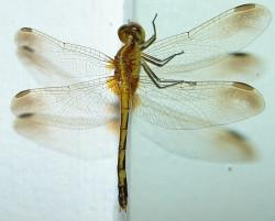 Agrotóxico interfere na expansão da população de libélulas