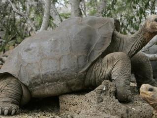 Cientistas tentam trazer de volta espécie de tartaruga extinta