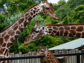 Filhote de girafa é apresentado ao público em zoo de Buenos Aires