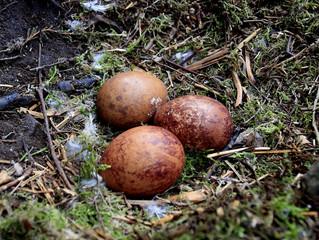 Ovos de falcão apreendidos no aeroporto de Cumbica são devolvidos ao Chile
