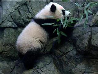 Bebê panda faz primeira aparição pública em zoo dos EUA