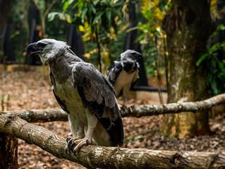 O Refúgio Biológico Bela Vista é o zoo que tem mais sucesso na reprodução de harpias no Brasil.