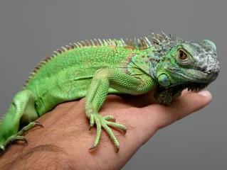 Alimentação de Iguana em Cativeiro